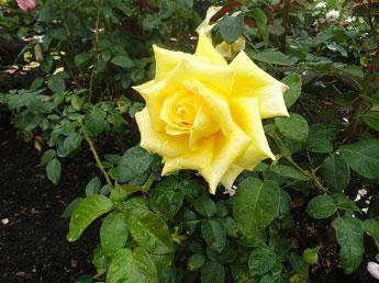 Толгский монастырь - Роза