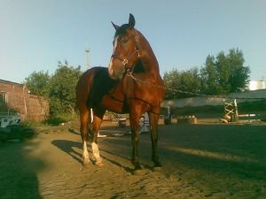Иппотерапия в Иваново и Ивановской области - Дневник иппотерапевта - Лечебная лошадь Хохма - Гнедая кобыла, рождена в 2006 году